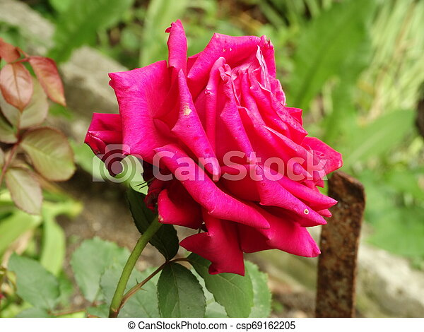 Red Rose against the Background of a Garden - csp69162205