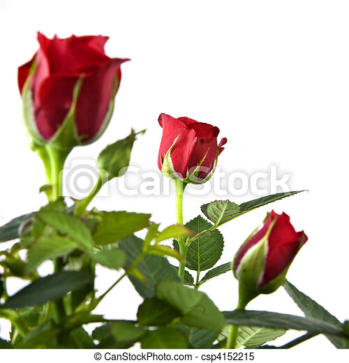 red rose bouquet isolated on white - csp4152215