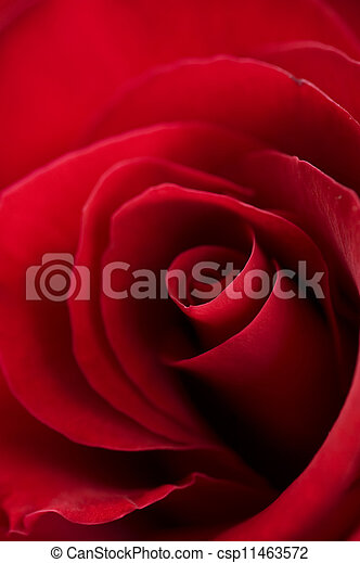 Red Rose close-up - csp11463572