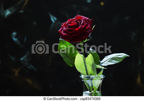 Red rose, dark background, shallow depth of field, selective focus - csp83474369
