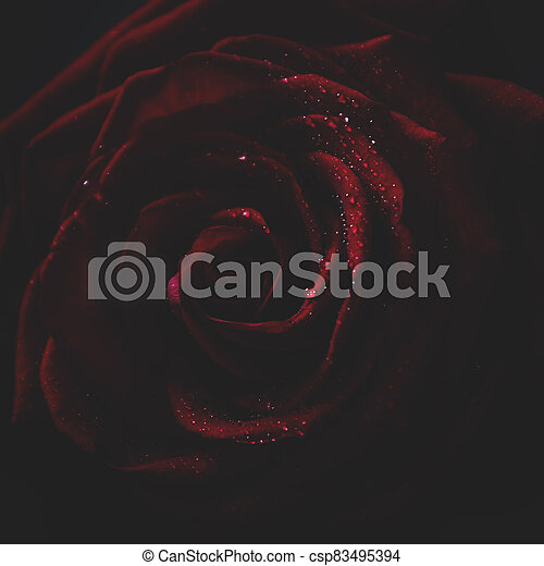 Red rose, dark background, shallow depth of field, selective focus and toned image - csp83495394