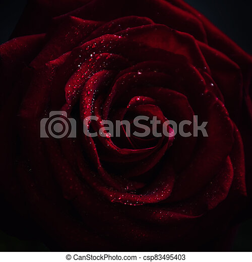 Red rose, dark background, shallow depth of field, selective focus - csp83495403