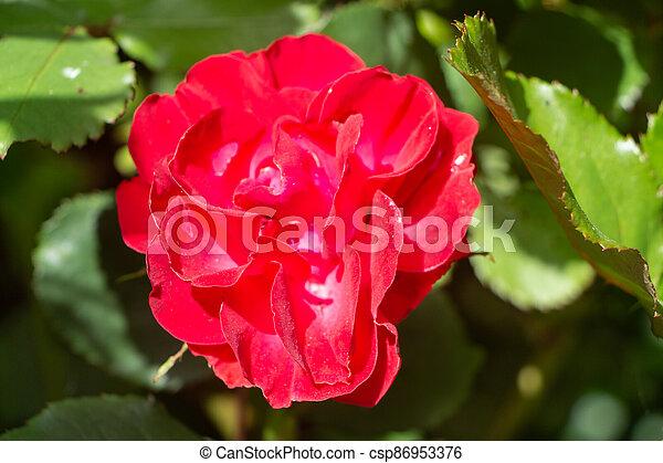 Red rose in a garden - csp86953376