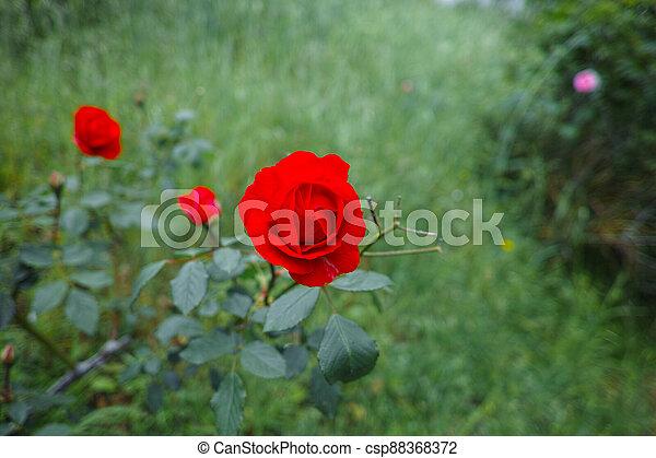 red rose in a garden - csp88368372