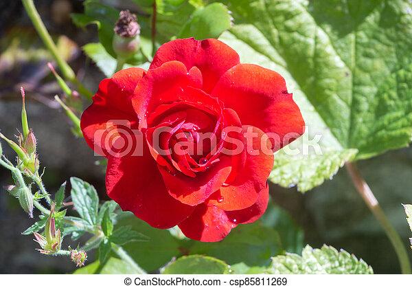 Red rose in a garden - csp85811269