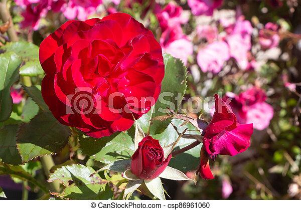 Red rose in a garden - csp86961060