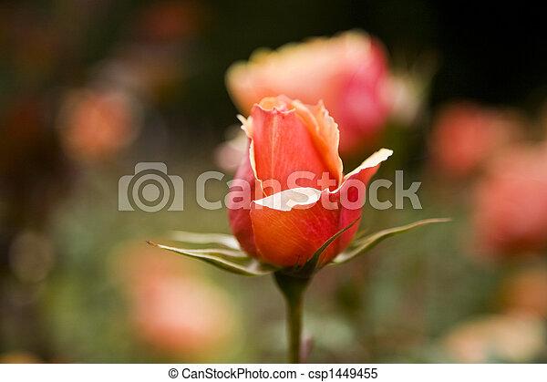 Red Rose in a Garden - csp1449455