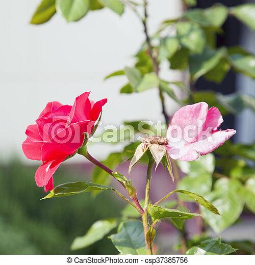 Red rose in a garden - csp37385756