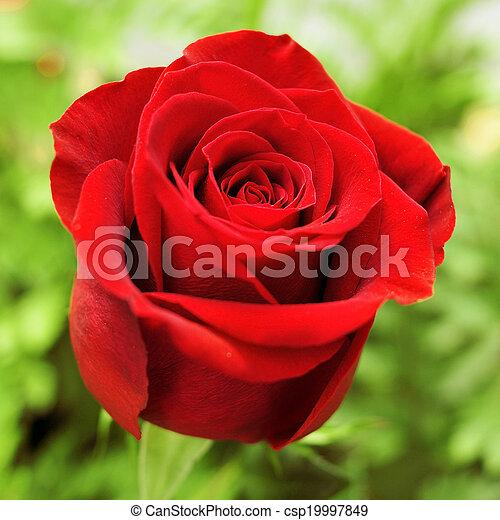 red rose in a garden - csp19997849