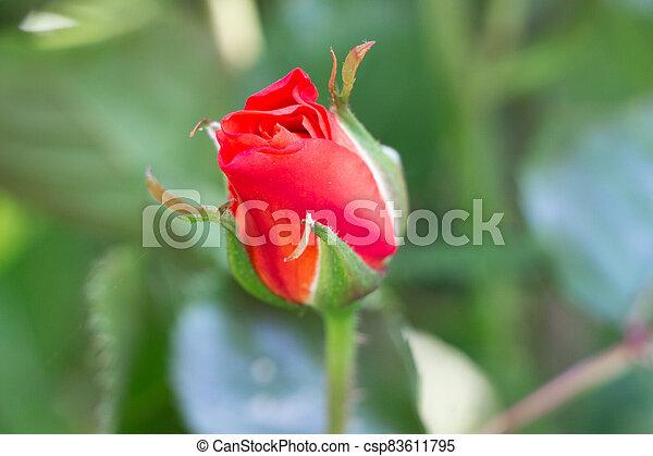 Red rose in a garden - csp83611795
