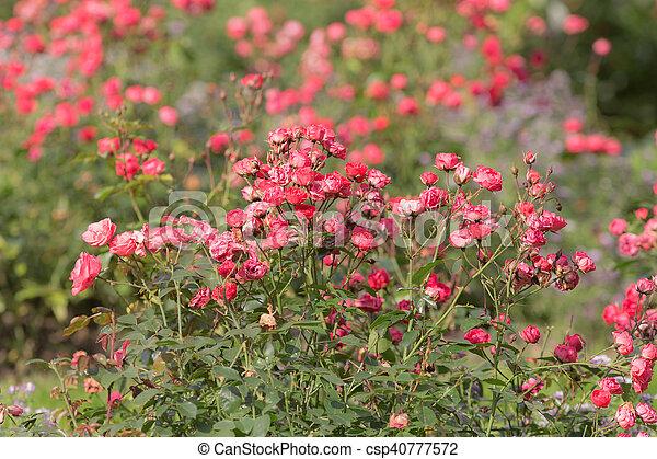 red rose in a summer garden - csp40777572