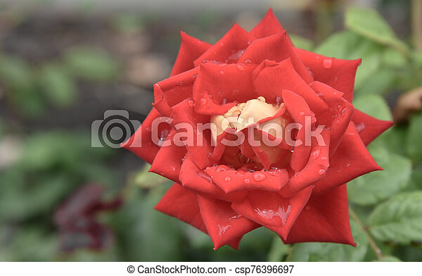 red rose in the garden closeup. Rich color and large dew drops. - csp76396697