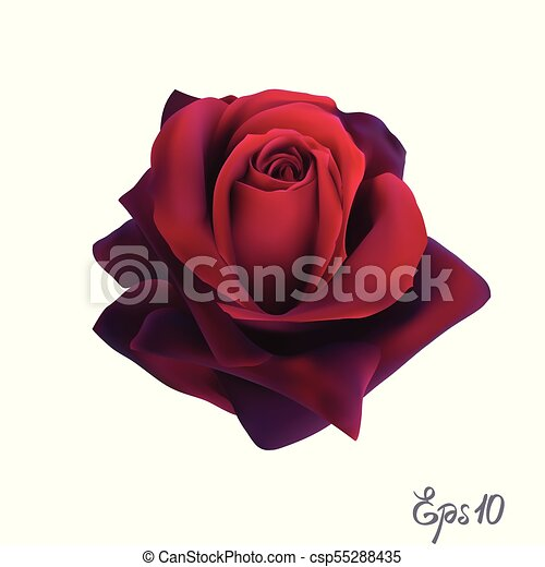 Red Rose. Isolated Flower on a White Background. - csp55288435