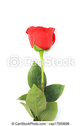 red rose isolated on white - csp17593696
