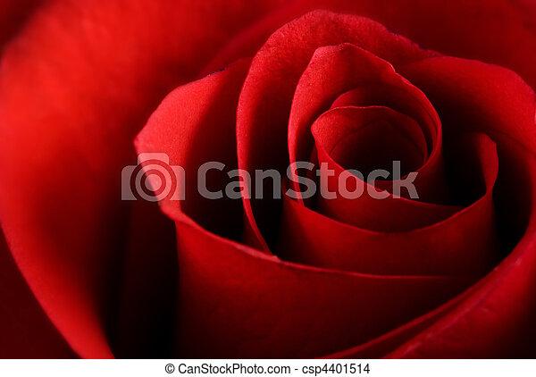 Red rose macro - csp4401514