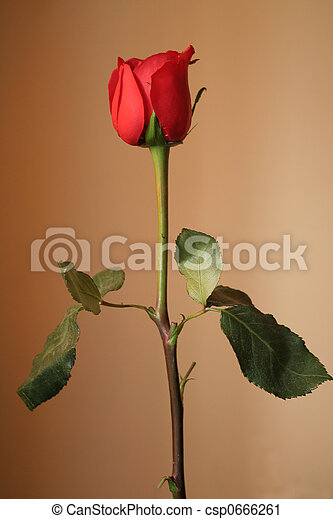 Red rose - csp0666261