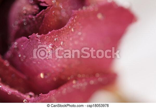 red rose - csp18053978