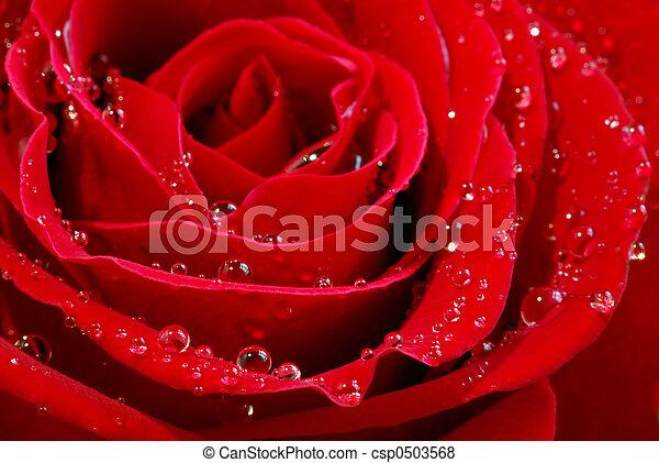 Red rose - csp0503568
