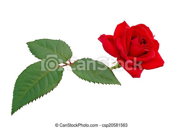 red rose - csp20581563