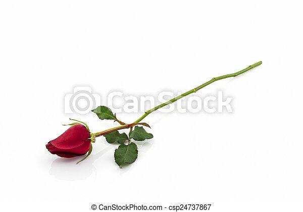 Red rose. - csp24737867