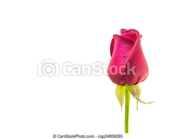red rose - csp24806265