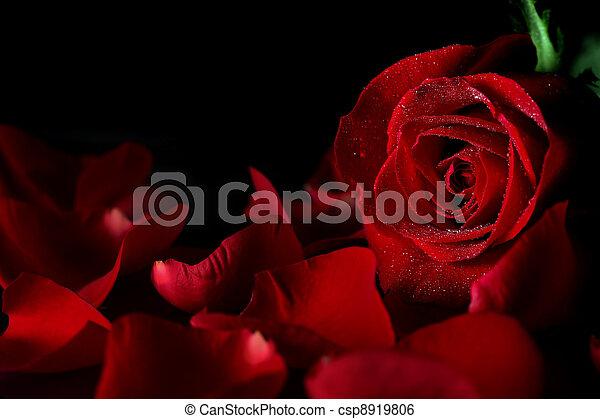 Red rose - csp8919806