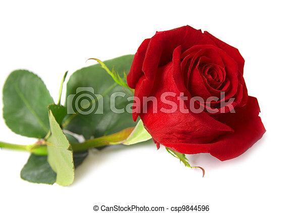 Red rose - csp9844596