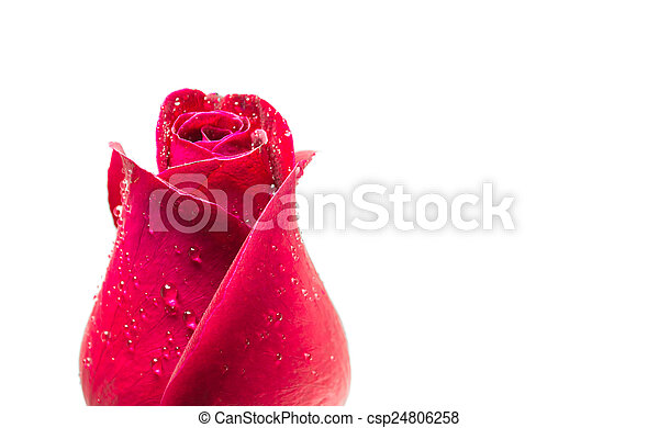 red rose  - csp24806258