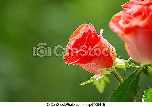 red rose - csp4709415
