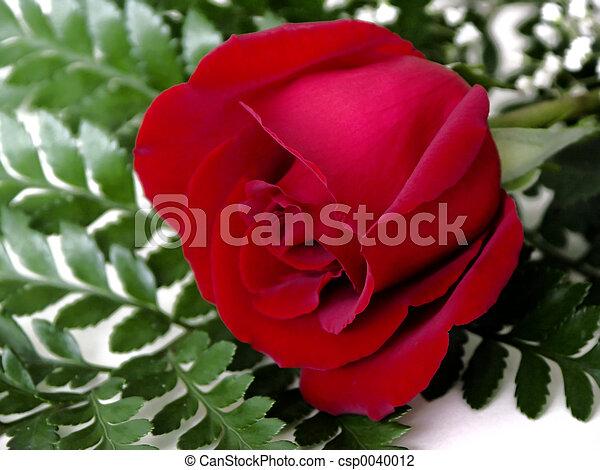 red rose - csp0040012