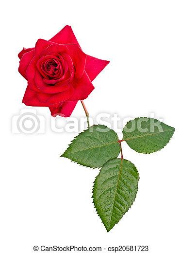 red rose - csp20581723