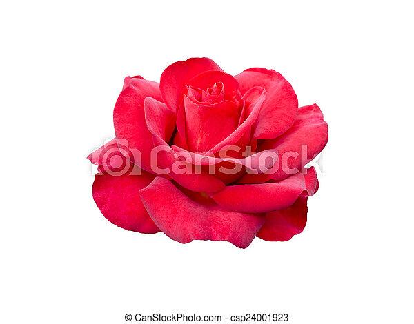 red rose - csp24001923