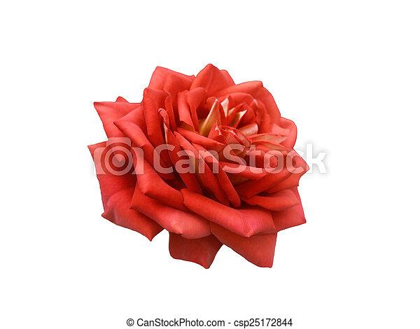 Red rose.  - csp25172844