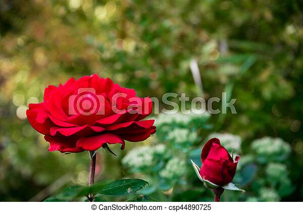 Red rose - csp44890725