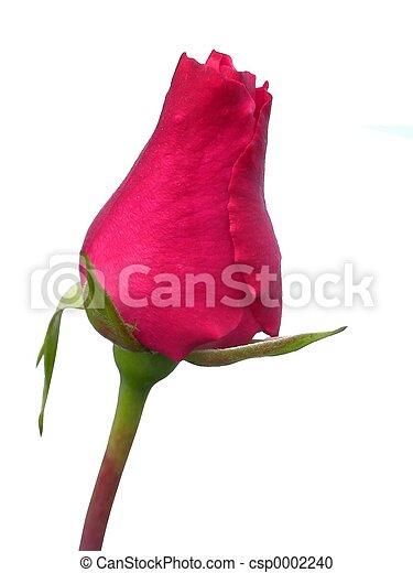 Red Rose - csp0002240