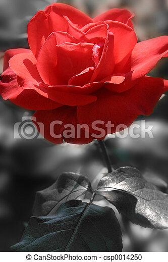 red rose - csp0014250