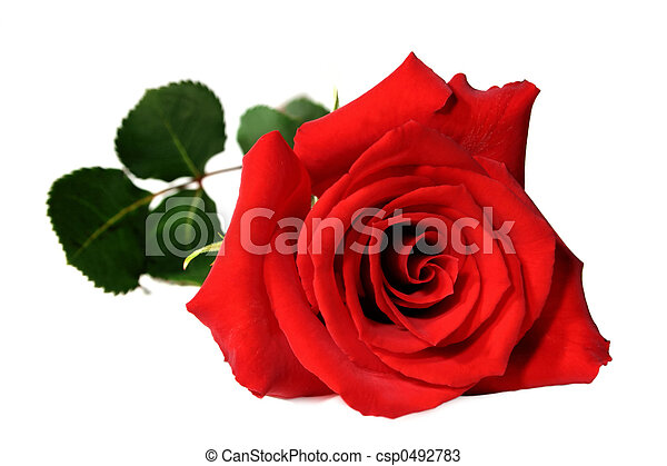 red rose - csp0492783