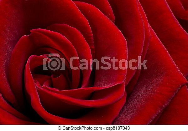 red rose - csp8107043