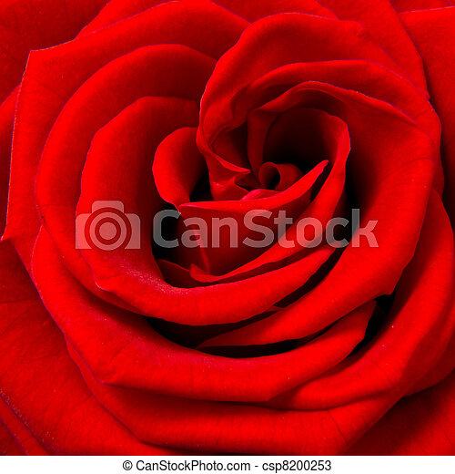 red rose - csp8200253