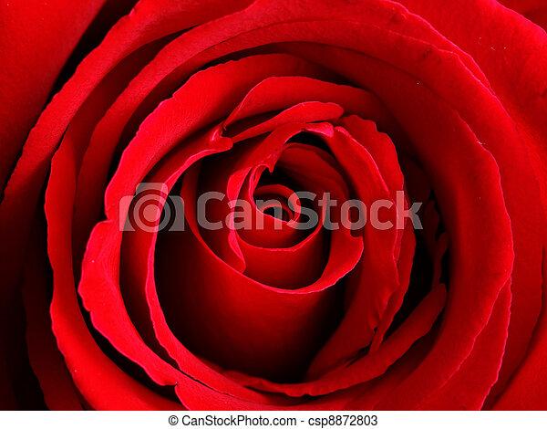 red rose - csp8872803