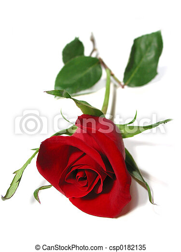 Red rose white background - csp0182135