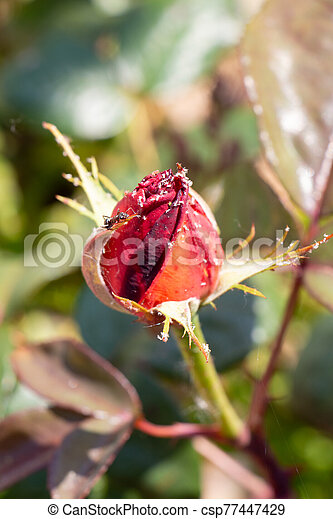Red rose with aphids in a garden - csp77447429