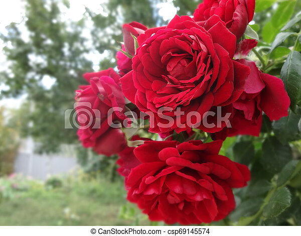 Red Roses in a Garden - csp69145574