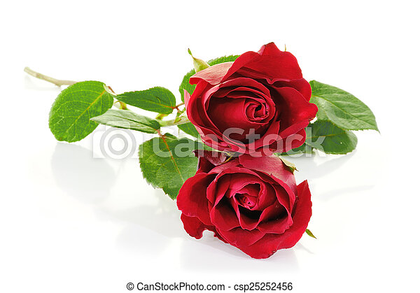 Red roses isolated on white - csp25252456