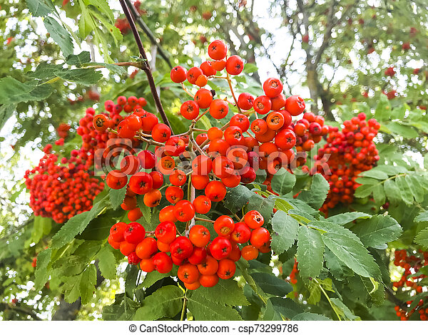 Red rowan berries with leaves on tree branches. - csp73299786