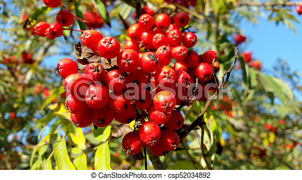 red rowan with green leaves, close-up - csp52034892