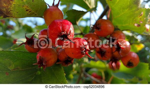 red rowan with green leaves, close-up - csp52034896