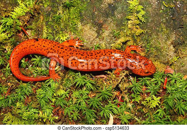 Red Salamander (Pseudotriton ruber) - csp5134633