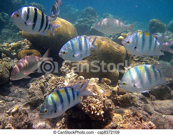 Red Sea coral fish - csp8372109