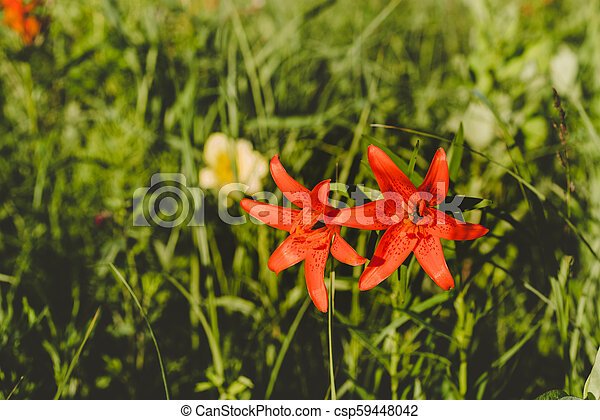 Red Siberian lily in a grass - csp59448042